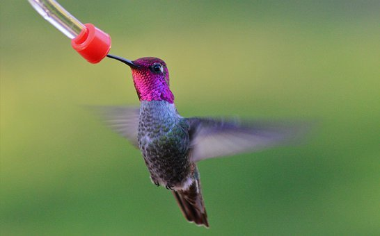 Male, Annas, Hummingbird, Bird, Nature, Feeder