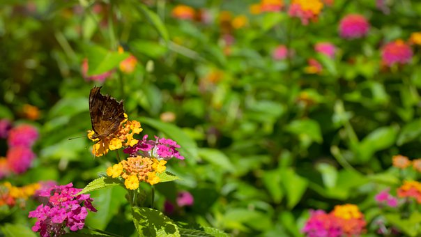 Flowers, Butterfly, Pink, Brown, Black, Insects, Wings