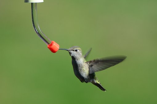 Female, Annas, Hummingbird, Bird, Feeder, Nature
