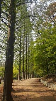 Tree, Forest, Park, Incheon Grand Park, Meta Sequoia