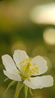 Flower, Macro, Blur, Muntingia, Kersen, Talok, Plant