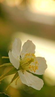 Flower, Macro, Blur, Muntingia, Talok, Kersen, Plant