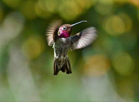 Male, Annas, Hummingbird, Bird, Nature