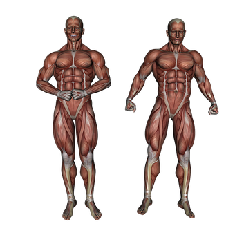Muscle, Muscular System, Anatomy, Bodybuilding