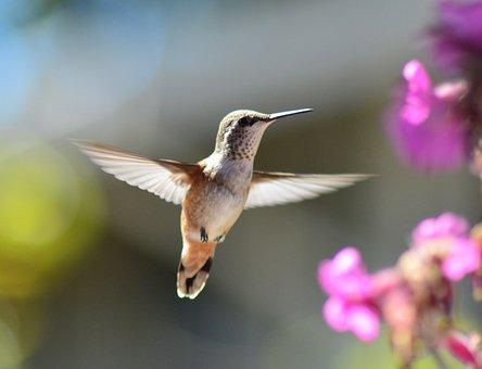 Annas Hummingbird, Bird, Nature