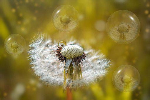 Dandelion, Bubbles, Plant, Spring, Garden, Yellow