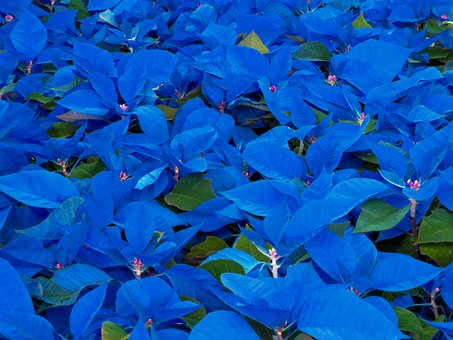 Blue, Blue Leafs, Leafs, Plants, Leaves