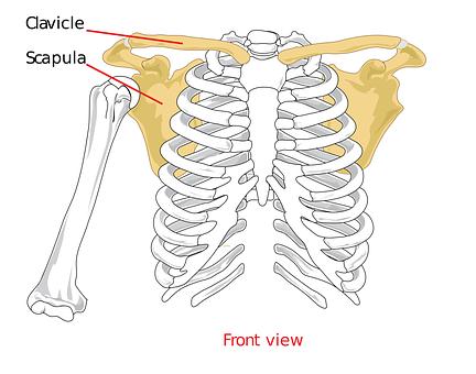 Clavical, Scapula, Shoulder, Biology, Diagram, Science
