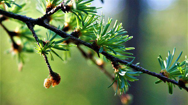 Nature, Forest, Hiking, Conifer, Wood