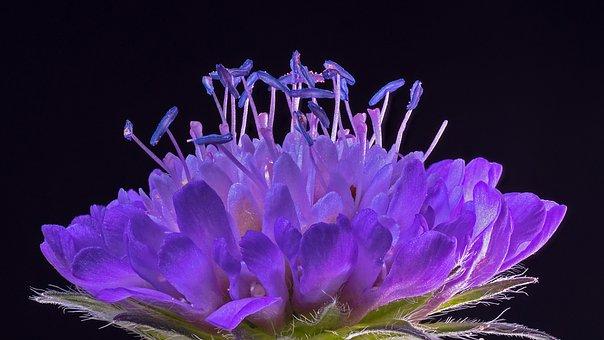 Pincushion Flower, Plant, Bloom, Blossom, Bloom, Purple