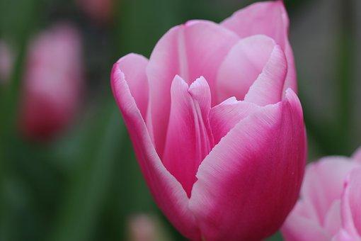 Tulips, Tulip, Flowers, Netherlands, Holland, Flora