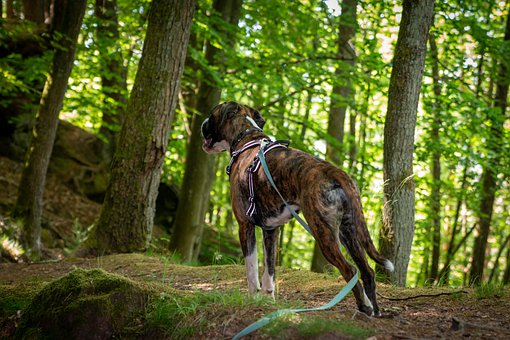 Boxer, Dog, Pet, Animal, Dog Look, Purebred, Fur