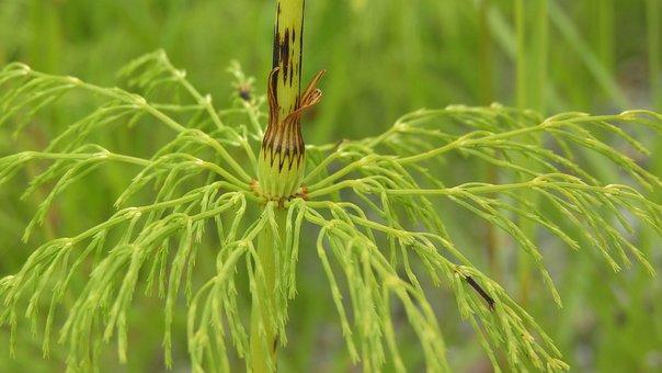 Horsetail, Summer Stalk, Green, Stalk, Detail
