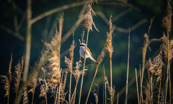 Gąsiorek, Bird, Shrike, Ornithology, Young, Eat