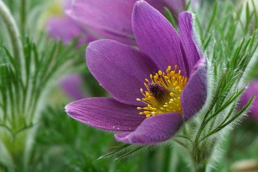 Sasanki, Flowers, Garden, Nature, Hairy, The Petals