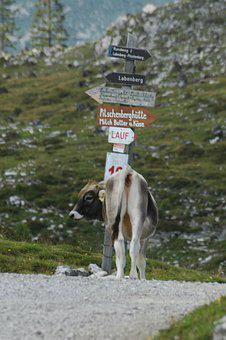 Cow, Decision, Directory, Mountain, Funny, Hiking