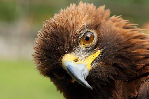 Steppe Eagle, Birds Of Prey, Predators, Predator