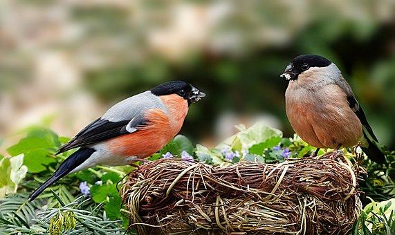 Animal, Bird, Songbird, Bullfinch, Gimpel, Pyrrhula