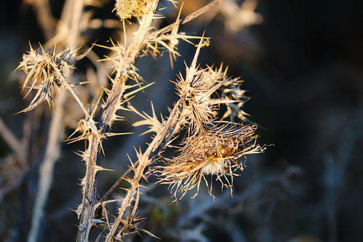 Winter, Herb, Faded, Spur, Prickly, Seeds, Thistle