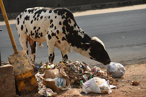 Animal Crisis, Cow, Animals Eating Plastic, Animal