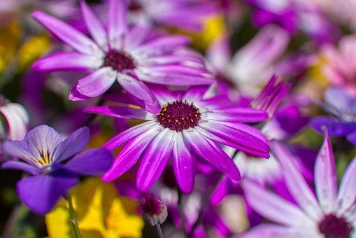 Cinerarie, Asteraceae, Compositae