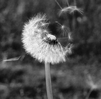Flower, Dandelion, Of, Trail, The, Upstream, Baciamorti