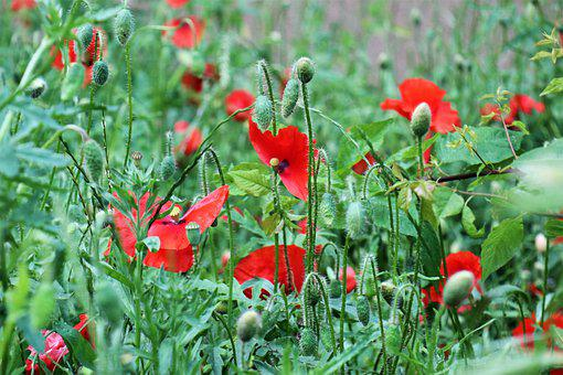 Poppies, Grass, Meadow, Green, Flowers