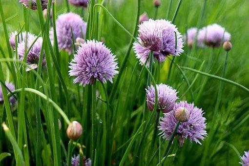 Wild Garlic, Flowers, Plants, Prairie