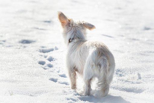 Dog, White, Winter, Snow, Small, Small Dog, Hybrid