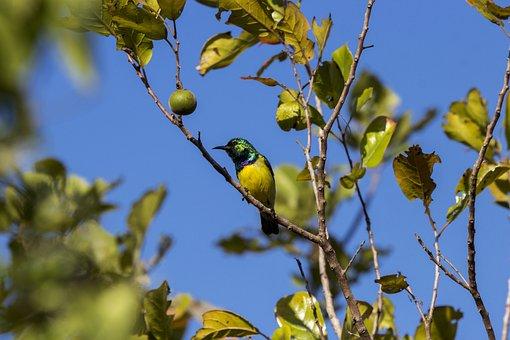 Bird, Sun Bird, Wild, Nature, Wildlife, Animal, Green