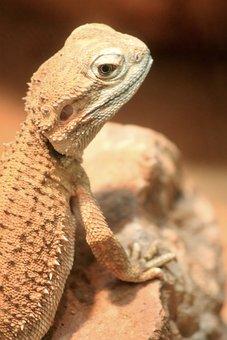 Lizard, Reptile, Scaly, Animals, Animal, Stones, Desert