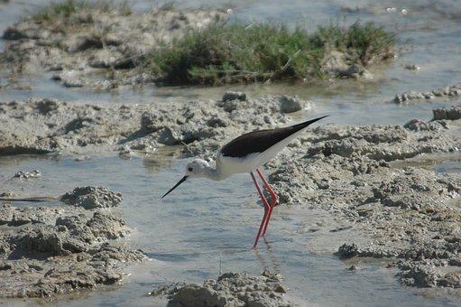 Stilt, Bird, Wild