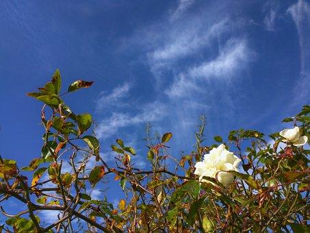 White Rose, Flower, English, Garden, Nature, White