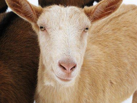 Sheep, Animal, Wool, Flock Of Sheep, Nature, Lamb