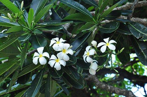 Plumeria, Plant, Flowers