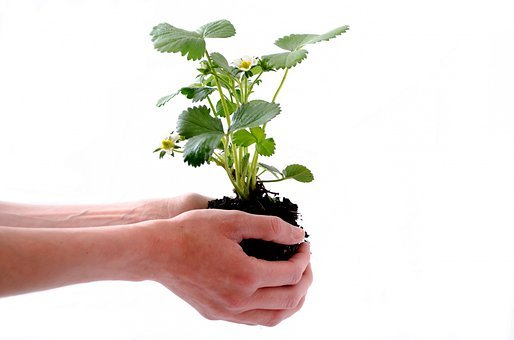 Plant, Isolated, Human, Strawberry, Soil, Bud, Natural