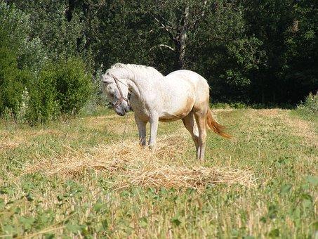 Horse, Animals, Stallion, Wild, Mammal, Equestrian