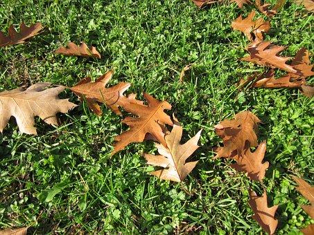 Quercus Rubra, Nothern Red Oak, Champion Oak, Leaves