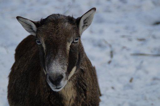 Sheep, Mouflon, Winter, Snow, Winter Fur, Wintry, Cold
