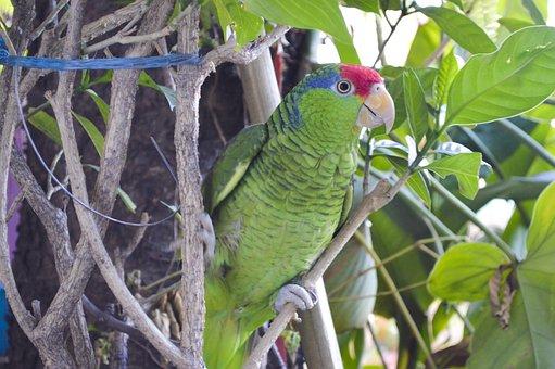 Nature, Cotorrito, Victor, Perico, Ave, Green, Animals