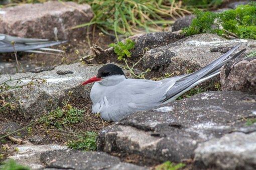 Schwalbe, Bird, Arctic Tern, Nature, Breed, Water Bird