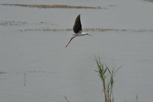 Bird, Wild, Flight, Stilt