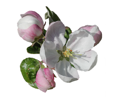 Apple Blossom, Blossom, Blossoming