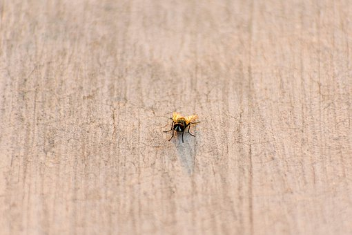 House Fly, Bug, Fly, Natural, Wing, Animal, Pest