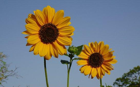 Flower, Sunflower, Ornamental, Helianthus Annuus