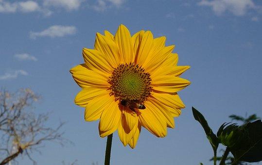 Flower, Sunflower, Ornamental, Bee, Helianthus Annuus