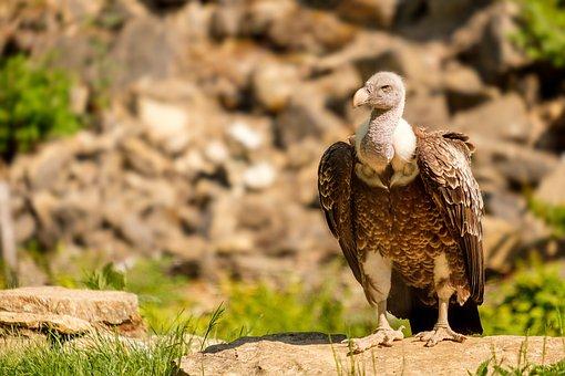 Vulture, Griffon Vulture, Scavengers, Bird, Bill