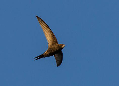 Swift, European Swift, Black Bird