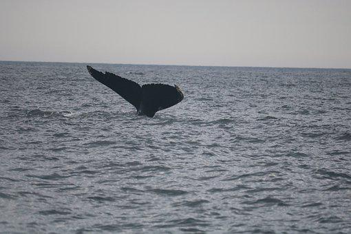 Canada, Travel, America, Whale, Giant, Sea, Blue
