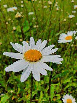 Daisy, Chamomile, Field, Summer, June, Nature, Mood